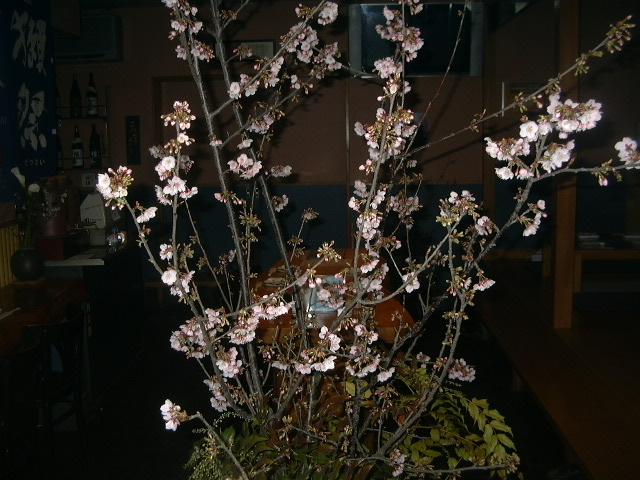 kanzakura.jpg